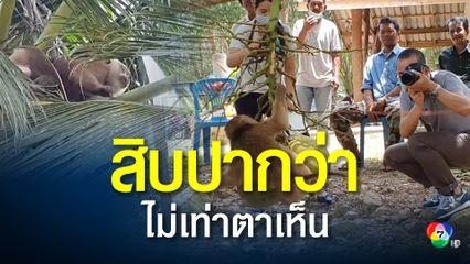 สื่อญี่ปุ่นศอกกลับ PETA ลิงเก็บมะพร้าววิถีไทยต้องอนุรักษ์