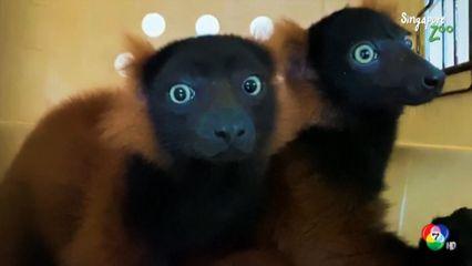 สวนสัตว์สิงคโปร์เผยภาพลูก รัฟฟ์ ลีเมอร์ สีแดงแฝด