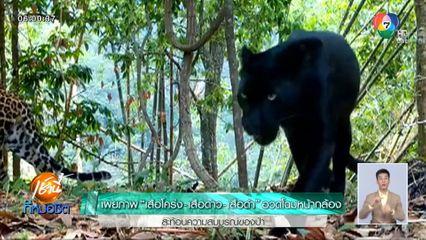 เผยภาพ เสือโคร่ง-เสือดาว-เสือดำ อวดโฉมหน้ากล้อง สะท้อนความสมบูรณ์ของป่า