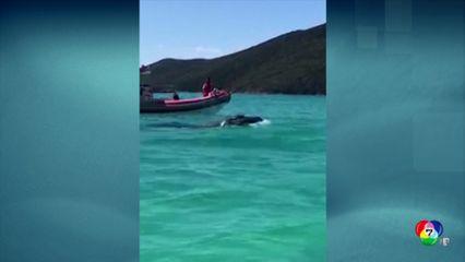 ช่วยลูกวาฬหลังค่อมเกยตื้นในบราซิล