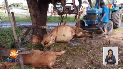 สลด ฟ้าผ่าวัวกินหญ้าใต้ต้นไม้ใหญ่หน้าบ้าน ตาย 3 ตัว