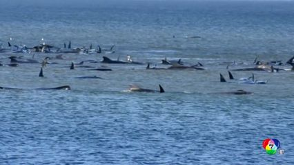 วาฬนำร่องกว่า 270 ตัว เกยตื้นนอกชายฝั่งออสเตรเลีย