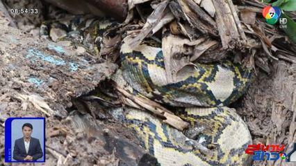 ภาพเป็นข่าว : เจ้าของสุดช้ำ! งูเหลือมเขมือบแม่พันธุ์ไก่ชนตัวละ 5 หมื่นบาท