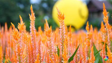 เปิดแล้ว ฤดูกาลชมดอกไม้บานที่เหมืองแก้ว สวยไม่แพัเมืองนอก