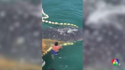 ช่วยฉลามวาฬติดทุ่นตาข่ายในทะเลของมาเลเซีย