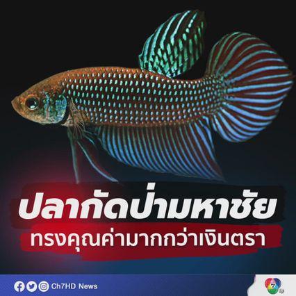 มก.ถอดรหัสพันธุกรรมของจีโนมฯ ปลากัดป่ามหาชัยได้เป็นครั้งแรกของโลก