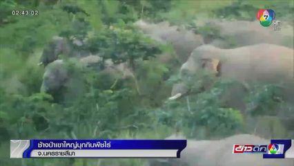 ช้างป่าเขาใหญ่บุกกินพืชไร่ จ.นครราชสีมา