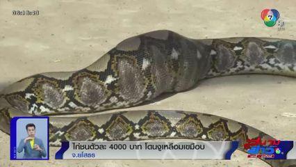 ภาพเป็นข่าว : ไก่ชนตัวละ 4,000 บาท โดนงูเหลือมเขมือบลงท้อง