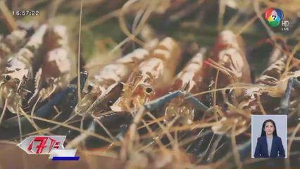 ตะลุยฟาร์มกุ้ง อ.บางแพ ราชบุรี แหล่งผลิตกุ้งก้ามกรามขึ้นชื่อของประเทศ