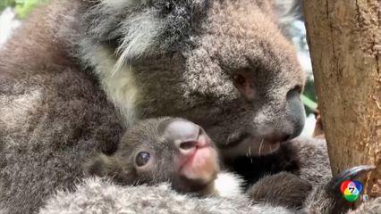 สวนสัตว์ออสเตรเลีย เปิดตัวลูกโคอาลาสมาชิกใหม่ในรอบกว่า 8 ปี