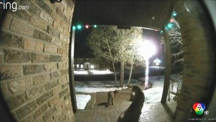 พบสิงโตภูเขาหน้าประตูบ้าน ในสหรัฐฯ