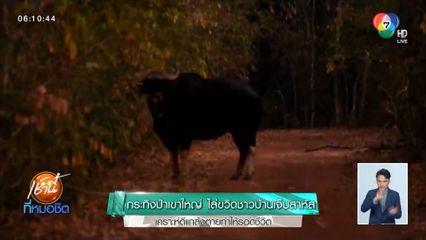 กระทิงป่าเขาใหญ่ไล่ขวิดชาวบ้านเจ็บสาหัส เคราะห์ดีแกล้งตายทำให้รอดชีวิต