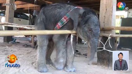 นาทีชีวิต! แม่ช้างแสนรู้นักวาดภาพศูนย์คชศึกษา จ.สุรินทร์ ตกลูก