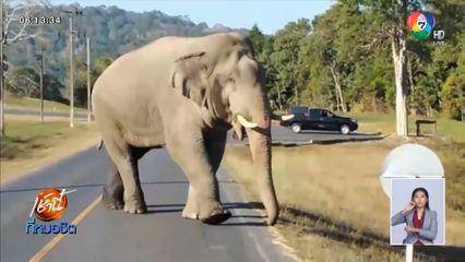 เตือน นักท่องเที่ยวอย่าเข้าใกล้ เจ้าด้วนวนาลี ช้างป่าเขาใหญ่กำลังตกมัน