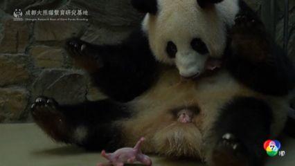 แม่แพนด้าคลอดลูกแฝด 2 ตัว ในจีน