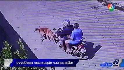 สุนัขวิ่งตัดหน้ารถจักรยานยนต์ชนสุนัข บาดเจ็บเล็กน้อย จ.นครราชสีมา