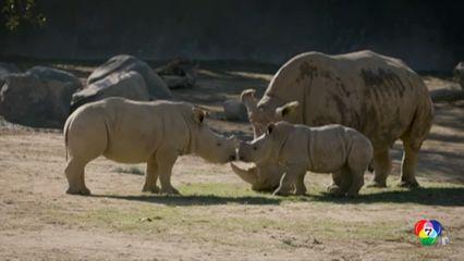 เผยภาพลูกแรด อายุ 10 สัปดาห์ ในสวนสัตว์ของสหรัฐฯ