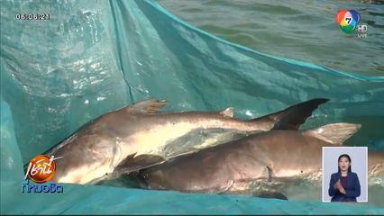 สำเร็จครั้งแรกในไทย ปลาสวายออกลูกเป็นปลาบึก ฝีมือนักวิจัย มทส.
