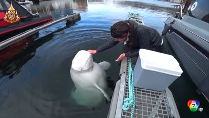 พบวาฬสายลับยาว 6 เมตร ของรัสเซียที่นอร์เวย์
