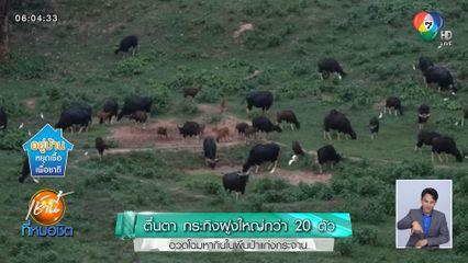 ตื่นตา กระทิงฝูงใหญ่กว่า 20 ตัว อวดโฉมหากินในผืนป่าแก่งกระจาน