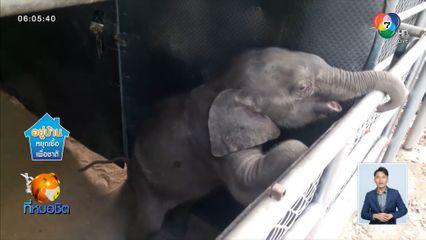 เร่งช่วยเหลือลูกช้างป่าห้วยขาแข้ง อายุ 3 เดือน หลงฝูงบาดเจ็บ