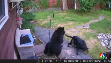 สุนัขใจกล้าไล่หมีบุกเข้าบ้าน ในสหรัฐฯ