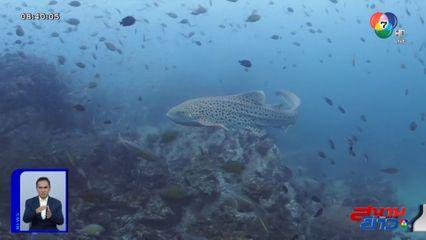 ภาพเป็นข่าว : ฮือฮา! ฉลามเสือดาวหายาก ปรากฏตัวให้นักดำน้ำยลโฉมใกล้ชิด