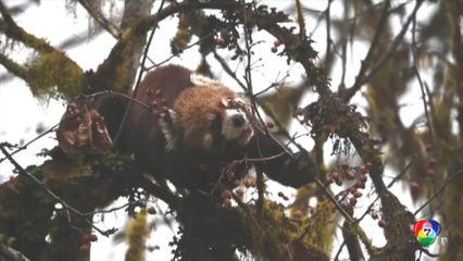 ฮือฮา! พบลูกแพนด้าแดงหายากในป่าของจีน ขณะออกหากิน