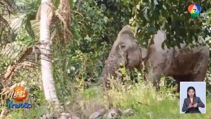 เจ้าหน้าที่ซุ่มยิงยาฆ่าเชื้อช่วยชีวิตช้างป่า พลายสีดอแดง หลังถูกรถชนบาดเจ็บ