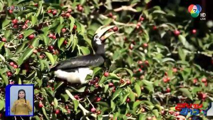ภาพเป็นข่าว : นกเงือกโผล่กินลูกไทร ต้อนรับนักท่องเที่ยวอุทยานแห่งชาติเขาใหญ่