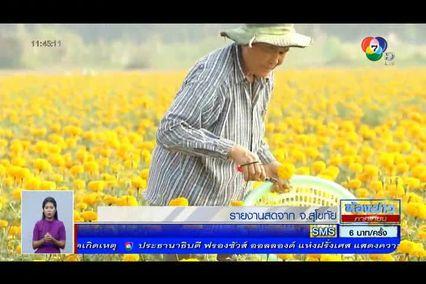 ฝ่าวิกฤตเอลนีโญ : เกษตรกรหันมาปลูกดอกดาวเรืองแทนข้าวและใบยาสูบ
