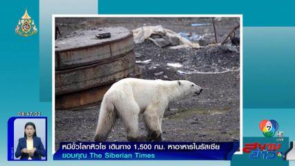 ภาพเป็นข่าว : หมีขั้วโลกหิวโซ เดินไกล 1,500 กม. เร่ร่อนหาอาหารในรัสเซีย