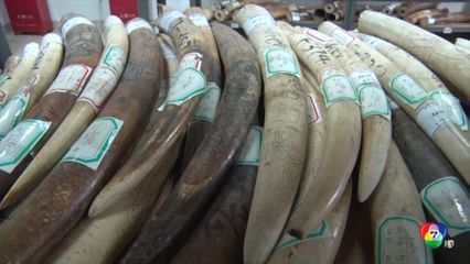 ศุลกากรจีนตรวจยึดงาช้าง น้ำหนักกว่า 2.7 ตัน