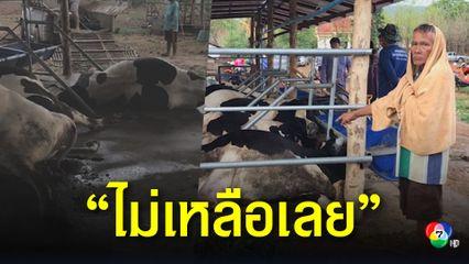 เจ้าของสุดเศร้า ฝนถล่มพัดสายไฟขาด ช็อตวัวตายยกคอก