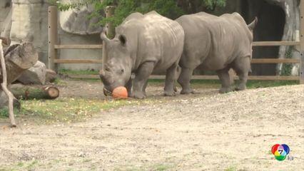 สวนสัตว์ดีทรอยต์ จัดกิจกรรมต้อนรับฮาโลวีน แจกฟักทองให้กับสัตว์ชนิดต่างๆ