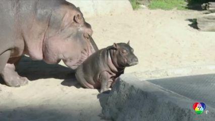 สวนสัตว์ในสหรัฐฯ เปิดตัว เจ้าอามาชาย ลูกฮิปโปเกิดใหม่