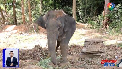 คราวเคราะห์! ช้างสะบัดหนุ่มอิตาลีร่วง ก่อนใช้งาแทงท้องลำไส้ทะลัก เจ็บสาหัส