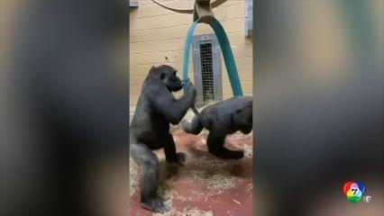 กอริลลาเล่นสนุกในสวนสัตว์สหรัฐฯ