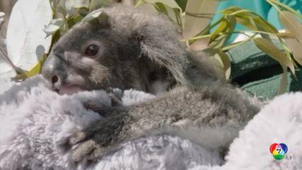 เจ้าหน้าที่สวนสัตว์ช่วยดูแลลูกโคอาลากำพร้าในสหรัฐฯ