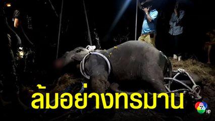 ลูกช้างป่ากุยบุรีล้มแล้ว หลังบาดเจ็บหนัก