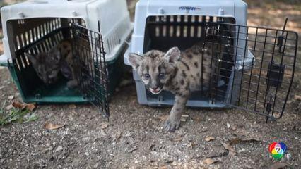 สวนสัตว์แอฟริกา ไบโอ ในเม็กซิโก ตั้งชื่อลูกเสือพูม่า ในช่วงโควิด-19 ระบาด