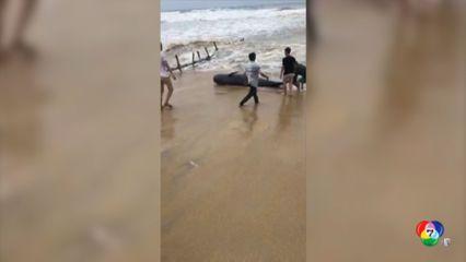ช่วยวาฬเกยตื้นบนชายฝั่งในเวียดนาม เคราะห์ร้ายคลื่นซัดตาย