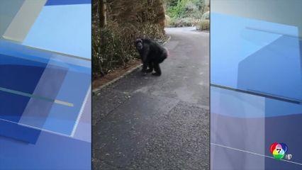 นักท่องเที่ยวเผยนาทีระทึก ลิงชิมแปนซีหลุดจากสวนสัตว์ ในอังกฤษ
