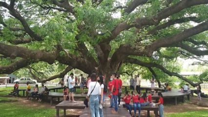 แห่ชมต้นจามจุรียักษ์ร้อยปี แผ่กิ่งก้านสวยงาม อวดโฉมดอกชมพู