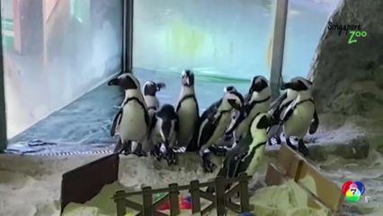 ฝูงเพนกวินเดินสำรวจสวนสัตว์ในสิงคโปร์ หลังสวนสัตว์ปิดจากมาตรการล็อกดาวน์