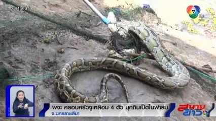 ภาพเป็นข่าว : ผงะ! ครอบครัวงูเหลือมบุกกินเป็ดในฟาร์ม กู้ภัยใช้เวลาจับนานกว่า 1 ชม.